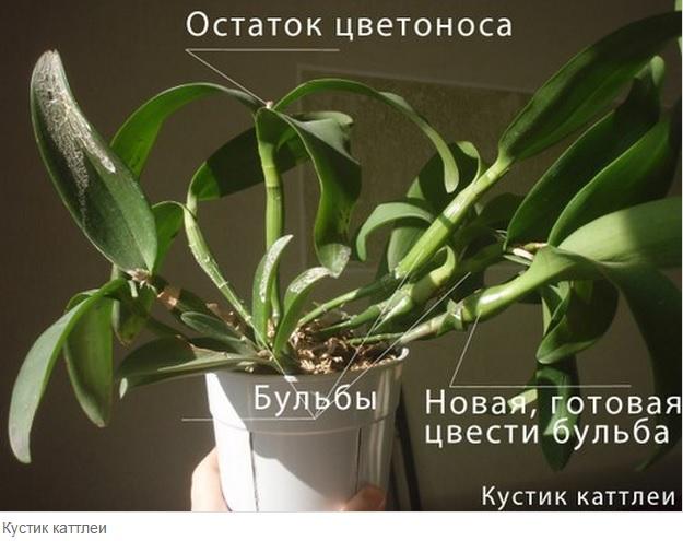 псевдобульба у орхидеи фото